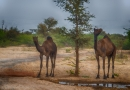 Camel going wild along the highway to Jodhpur