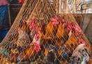 Live chicken (wild chicken)