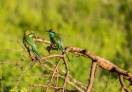 Bee-eater !
