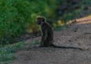 This little monkey is waiting for tourist and expecting some food.