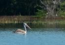 Spot-billed Pelican in the water reservoir called Mau Ara.