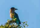 Beautiful colorful bird I guess this is Indian Roller!