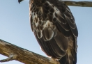 Changeable Hawk-eagle - I saw few of them in the park.