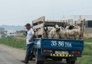 Naadam Festival is around the corner so the Goats are in high demand