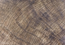 Details of the cut trunk of a Sequoia tree -- the circular line will tell us how old this tree is.