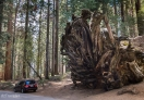 A fallen Sequoia tree with humongous root, the SUV looks like a matchbox!