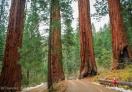 Century Old Sequoia Trees in Sequoia NP