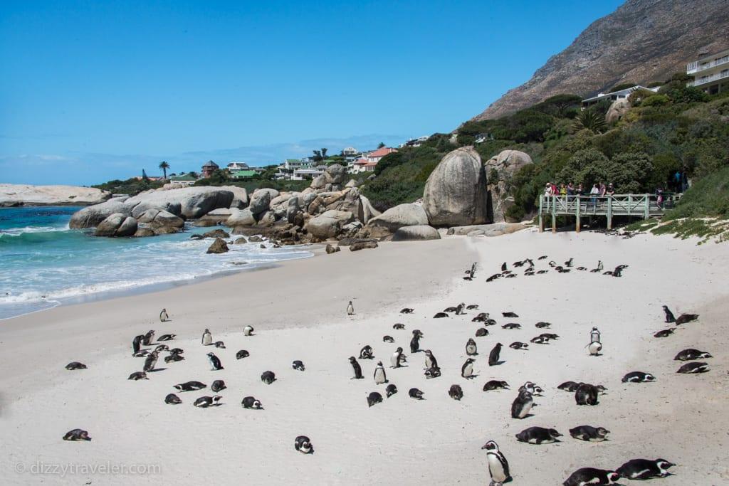 African penguins-Boulder Beach