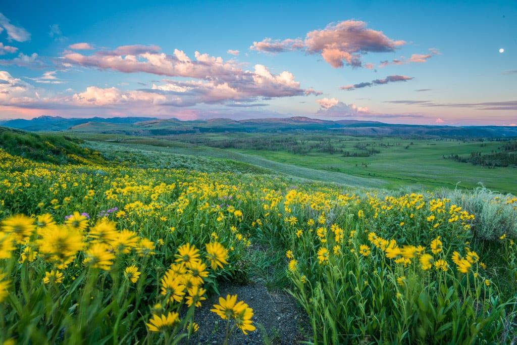 wildflower in yellowstone